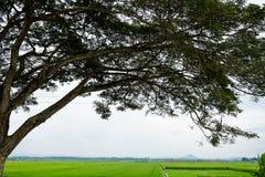 Schattenbild einer Baumüberdachung am Feld des ungeschälten Reises Stockfotografie