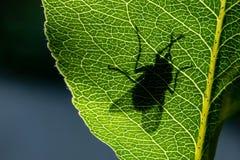 Schattenbild einer Fliege auf einer grünen Blattnahaufnahme stockfotografie