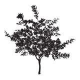 Schattenbild einer jungen Platane mit Blättern Lizenzfreies Stockfoto
