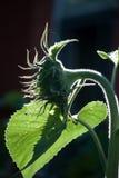 Schattenbild einer jungen Sonnenblume, später Nachmittag, lehnend auf einem Blatt Stockfotografie