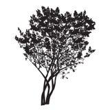 Schattenbild eines Busches der blühenden Flieder Stockbilder