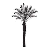 Schattenbild eines Dattelpalmebaums Stockfoto