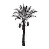 Schattenbild eines Dattelpalmebaums mit Früchten Stockbilder