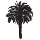 Schattenbild eines Dattelpalmebaums mit Früchten Stockfoto