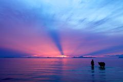 Schattenbild eines Mannes und des Stiers am Sonnenuntergang Stockfoto