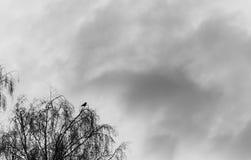 Schattenbild eines Raben auf den Baum gegen den Hintergrund Stockbilder
