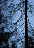 Schattenbild eines Stammes eines Koniferenbaums Stockfoto