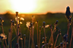 Schattenbild pflanzt Blume gegen die untergehende Sonne Stockfotos
