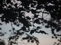 Schattenbild von Ahorn-Niederlassungen und Blättern an der Dämmerung stock video footage