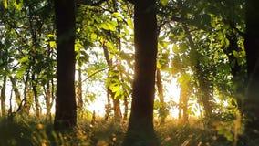 Schattenbild von Bäumen des Waldes Forest On ein Hintergrund des Sonnenuntergangs Feld des grünen Grases gegen einen blauen Himme
