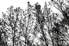 Schattenbild von Baumniederlassungen, lokalisiert auf weißem Hintergrund Lizenzfreie Stockbilder