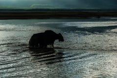 Schattenbild von den mongolischen Yak, die den Fluss im Sonnenuntergang lig kreuzen Stockbild