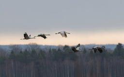 Schattenbild von fünf fliegenden Kranvögeln, Wald im Hintergrund Stockfoto