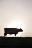 Schattenbild von Jersey-Kuh Lizenzfreie Stockfotografie
