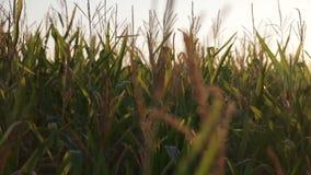 Schattenbild von Maisstielquasten vor einem goldenen Sonnenuntergang stock video footage