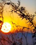 Schattenbild von Trockenblumen und von Anlagen auf einem Hintergrundsonnenuntergang Lizenzfreies Stockfoto