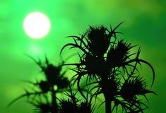 Schattenbild von wilden Disteln auf grünem Hintergrund bei Sonnenaufgang Lizenzfreie Stockbilder