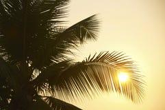 Schattenbildblatt-Kokosnussbaum Stockfoto