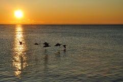 Schattenbilder der kanadischen Gänse, die am Sonnenaufgang fliegen Lizenzfreies Stockfoto