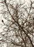 Schattenbilder der Kiefer verzweigt sich in die kalte Jahreszeit Lizenzfreie Stockfotos
