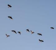 Schattenbilder einer Menge der Störche im blauen Himmel Lizenzfreies Stockfoto