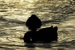 Schattenbilder von den Enten, die in See während der goldenen Stunde schwimmen lizenzfreie stockfotos
