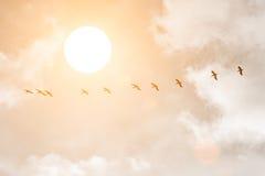 Schattenbilder von großen weißen Pelikanen bei Sonnenuntergang Lizenzfreies Stockfoto