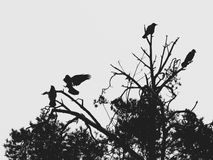 Schattenbilder von Krähen auf einer Kiefer Lizenzfreie Stockfotos