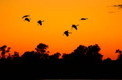 Schattenbilder von Sandhill-Kränen bei Sonnenuntergang Lizenzfreies Stockfoto