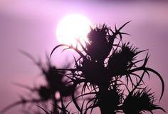 Schattenbilder von wilden Disteln bei Sonnenaufgang Lizenzfreie Stockfotos