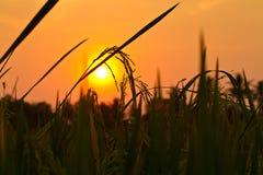 Schattenbildreisspitze auf dem Reisgebiet mit Sonnenuntergang Lizenzfreie Stockfotografie