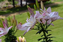 Schattierte Lily Flowers Stockbild