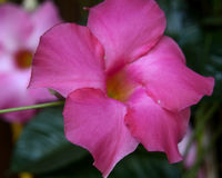 Schattierte rosa Blume an einem sonnigen Sommertag Stockfotografie