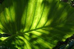Schattiges Philadendron lizenzfreies stockbild
