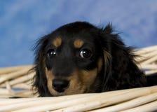 Schatzi, el dachshund miniatura Fotos de archivo libres de regalías