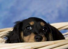 Schatzi, el dachshund miniatura Fotos de archivo