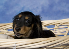 Schatzi, the miniature dachshund Stock Photos