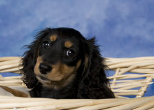 Schatzi, the miniature dachshund Royalty Free Stock Photography