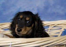 Schatzi, the miniature dachshund. Black and tan long-haired miniature dachshund Stock Image