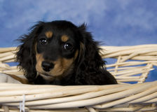 Schatzi, the miniature dachshund. Black and tan long-haired miniature dachshund Royalty Free Stock Image