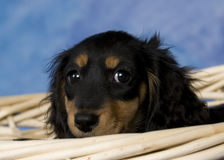Schatzi, the miniature dachshund. Black and tan long-haired miniature dachshund Royalty Free Stock Photos