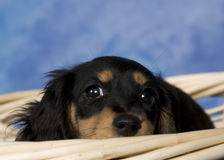 Schatzi, the miniature dachshund. Black and tan long-haired miniature dachshund Stock Photos