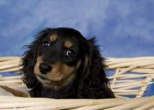 Schatzi, o dachshund diminuto fotografia de stock royalty free