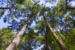 Schauen aufwärts auf sehr hohen Bäumen in das Kabinendach stockbild