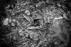 Schauen der gr?nen Eidechse im Loch Eine Eidechse, die sich im Fr?hjahr im Gras versteckt Schwarzweiss-Foto Pekings, China stockbild