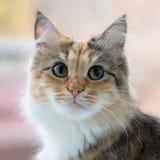 Schauen der Katze Lizenzfreie Stockfotos