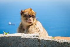 Schauen des Affen stockbild