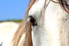 Schauen des alten Kladruby Pferds Lizenzfreies Stockfoto