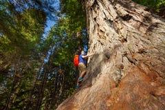 Schauen des Mannes mit dem Rucksack, der auf großem Baum klettert Lizenzfreies Stockbild