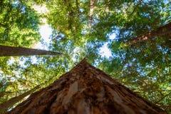 Schauen entlang dem Mammutbaumstamm Stockfoto